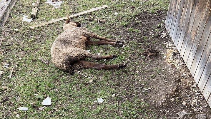 Im Februar 2020 entdeckte die Polizei mehrere schlecht gehaltene oder bereits tote Tiere in Oftringen. Der Halter ist wegen Tierquälerei vorbestraft. (Kantonspolizei Aargau)