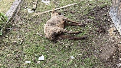 Im Februar 2020 entdeckte die Polizei mehrere schlecht gehaltene oder bereits tote Tiere in Oftringen. Der Halter ist wegen Tierquälerei vorbestraft. Am Dienstag stand er vor Gericht. (Kantonspolizei Aargau)