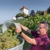Peter Schuler bei der Arbeit im Rebberg beim Schloss Heidegg. (Bild: Pius Amrein  (Gelfingen, 17. September 2020))