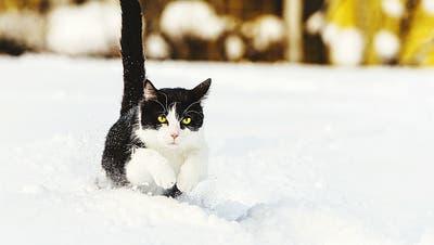 Ist nicht nur Schmusetier: Das St.Galler Naturmuseum zeigt das Wesen der Katze als Ganzes auf. Ab Herbst. (Bild: Lotfi Cherif / Eyeem)