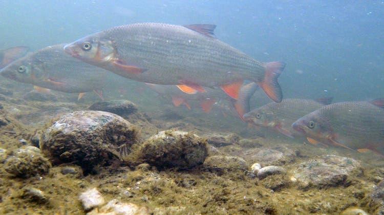 Chondrostomanasus: Der einst in Schweizer Gewässern weit verbreitete Fisch «Nase» ist heute vom Aussterben bedroht. (WFN)