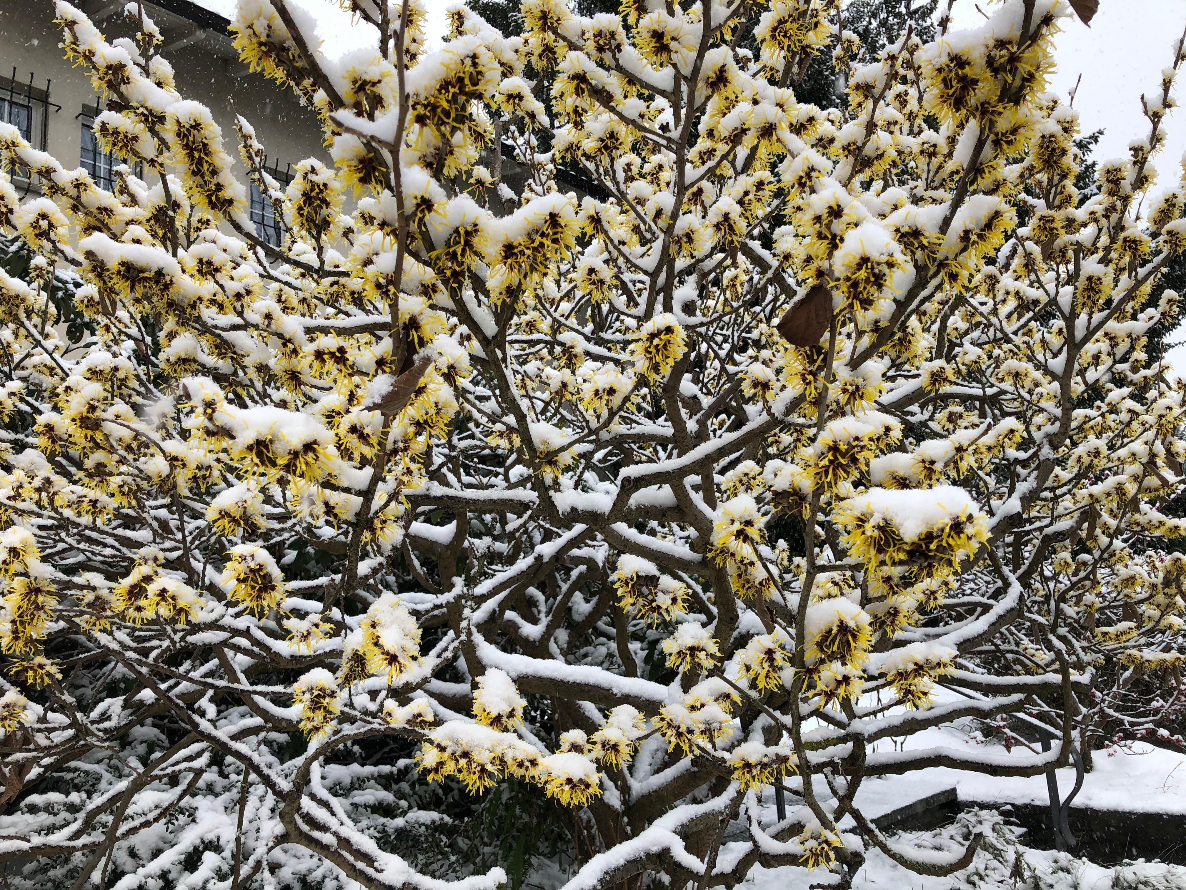 Hamamelis trotzt dem Schnee