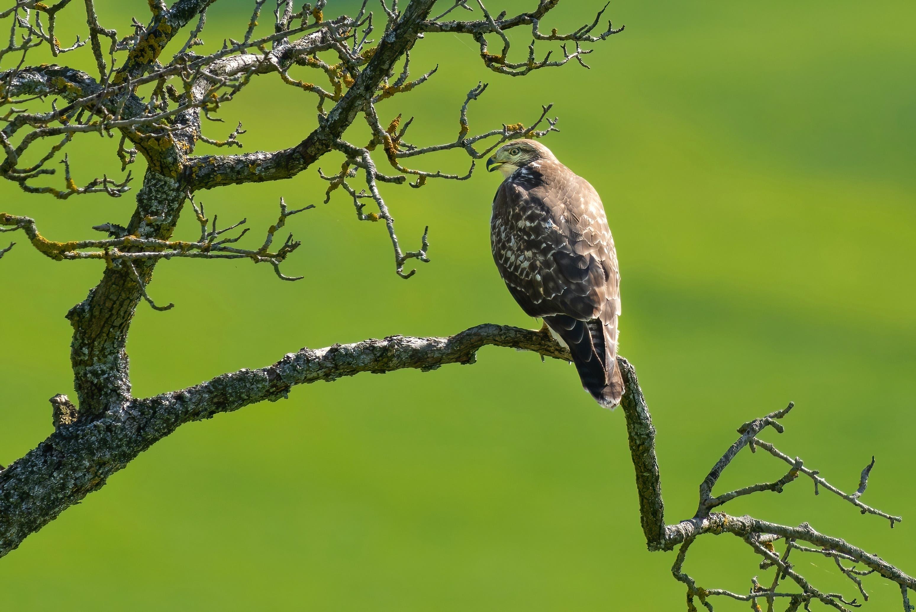 Bussarde (Buteo) sind mittelgrosse Greifvögel aus der Familie der Habichtartigen.