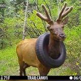 Rettungsaktion in Colorado: Hirsch lief zwei Jahre mit einem Reifen um den Hals herum