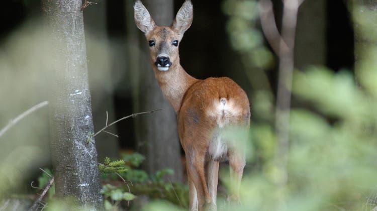 Ein Reh im Baldegg-Wald oberhalb von Baden. Seit immer mehr Menschen in den Wald gehen, haben sich die Wildtiere zurückgezogen. (Archivbild: Alexander Wagner)