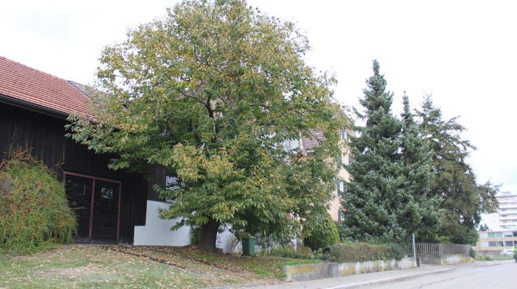 In Grenchenein seltener Anblick: Marronibaum (Edelkastanie) an der Moosstrasse. (Andreas Toggweiler)