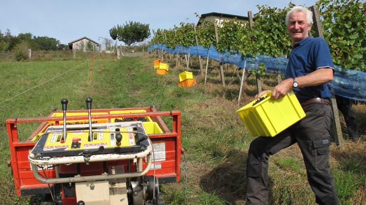 Halb so viel Ertrag wie normalerweise: Trotzdem überzeugen die Trauben für den Dietiker Stadtwein mit ihrer Qualität