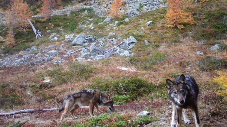 Der Kanton Glarus wollte drei Jungwölfe schiessen. Der Bund lehnt das Gesuch aber ab. (Symbolbild) (Keystone)