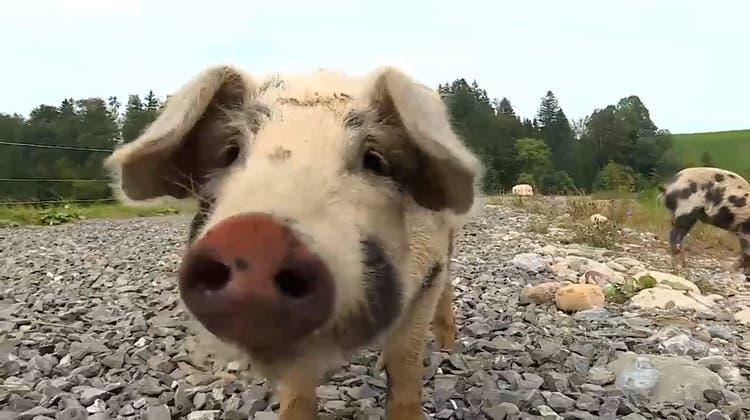 Wie gefleckte Schweine den Lebensraum für Kröten sichern