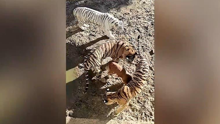 Das sorgt für Aufsehen: Was macht dieser Hund im Tiger-Gehege?