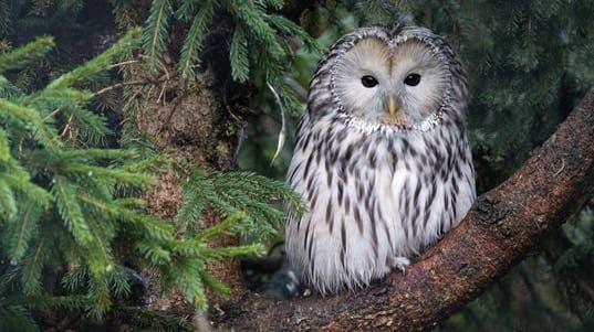 Die Käuze können eine Flügelspannbreite bis zu 1,25 Meter erreichen. (Zoo Zürich, Enzo Franchini)