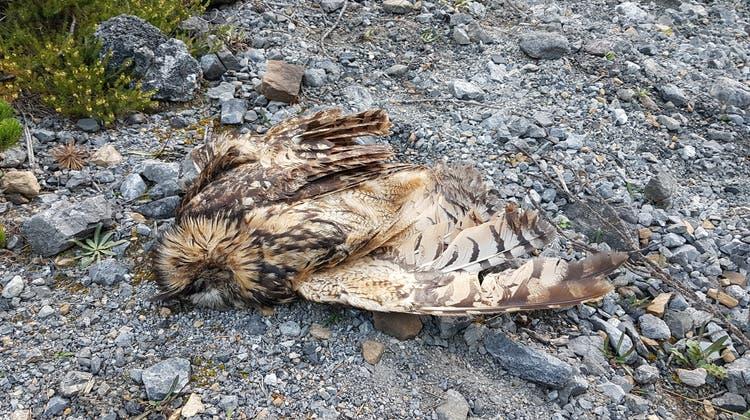 Im Herbst 2020 fand ein Parkwächter diesen toten Uhu. (Schweizerischer Nationalpark)