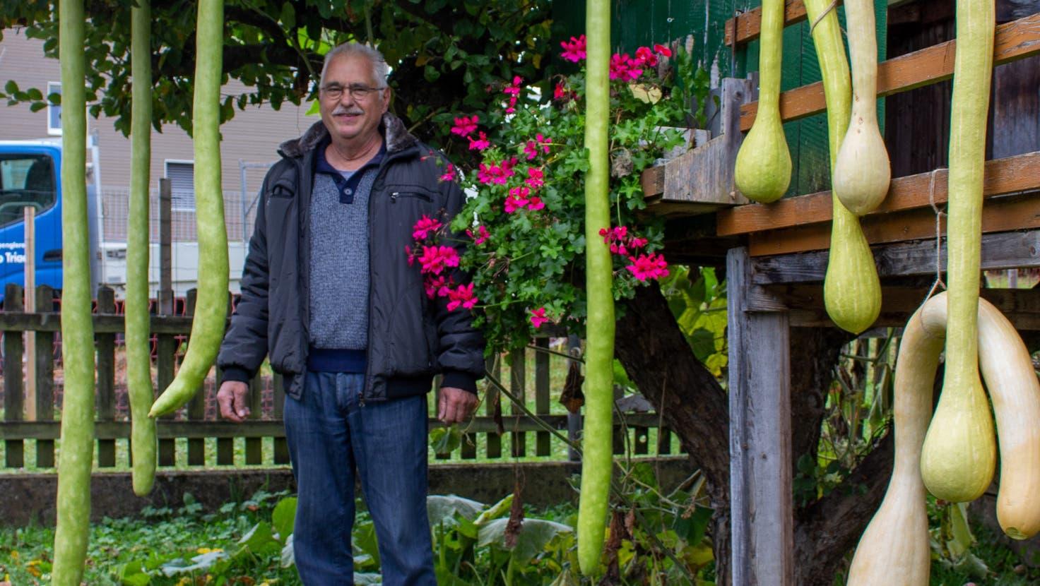Bei Ugo Triaca klingelt's schon mal wegen der Kürbisse. Der längste ist zweieinhalb Meter lang. (Carmen Frei / «Limmattaler Zeitung»)