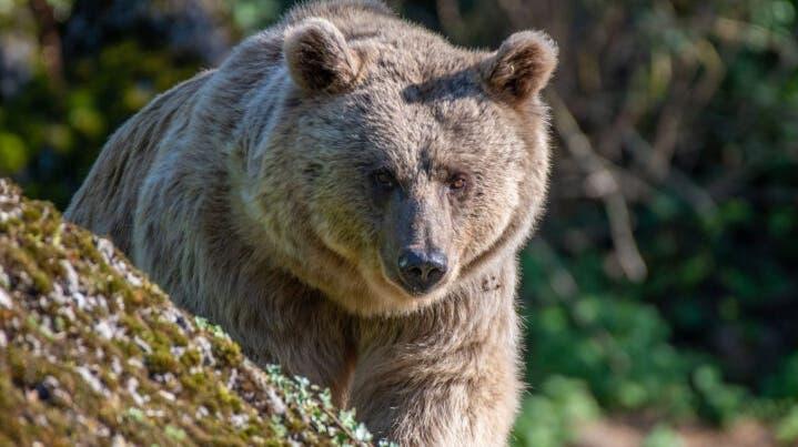 Bärin Maya ist nach 20 Jahren zurück im Tierpark. (Bild: Tierpark Goldau)