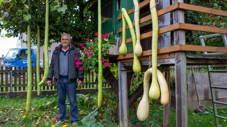 Ugo Triaca zeigt mit Stolz seine Schlangenkürbisse. Neben ihm hängen die Flaschenkürbisse, die er ebenfalls in seinem Garten gepflanzt hat. (Carmen Frei / «Limmattaler Zeitung»)