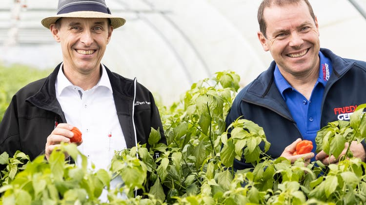 Matthias Fürer (v.l.), Landwirtschaftsdirektor Markus Dieth, Pascal Furer und Jörg Friedli präsentieren die ersten im Aargau angebauten Chilis. (Severin Bigler)