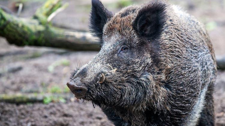 Die Tessiner Jäger haben bei der Hochjagd dieses Jahr 912 Wildschweine erlegt. (Symbolbild) (Keystone)