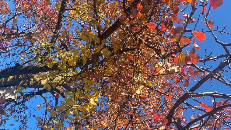 Bunte Blätter sind im Herbst eine Augenweide. (Bild: Sabrina Bächi)