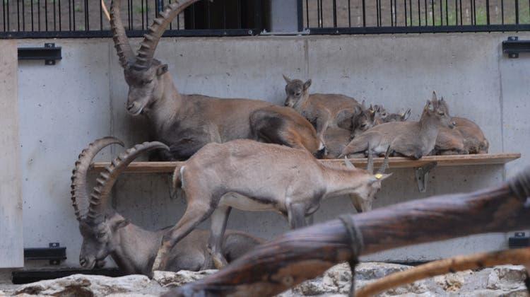 Im Tierpark Langenberg leben auch Steinböcke. (Archivbild) (Walter Schwager)