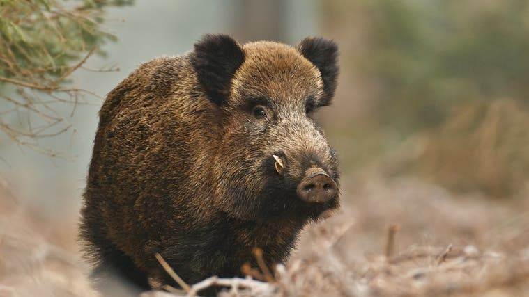 In wenigen Wochen beginnen in so manchen Revieren die grossen Treibjagden auf Wildtiere. (Getty / Neil Burton)