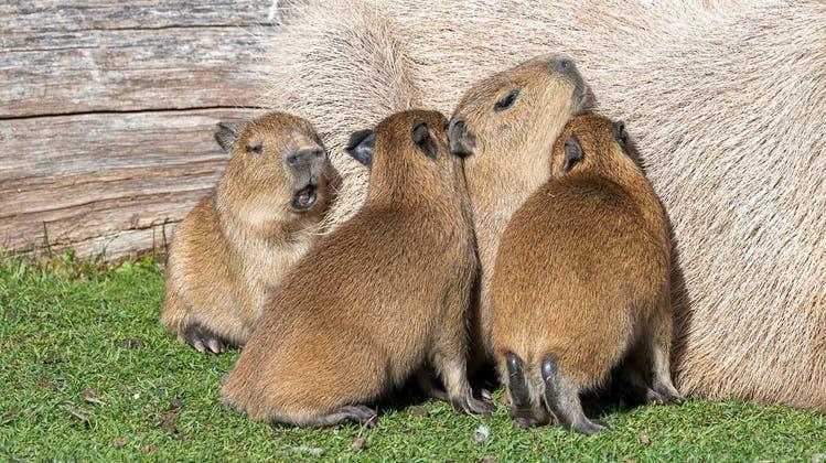 Nachwuchs im Zoo Zürich: Vier süsseCapybarasauf die Welt gekommen