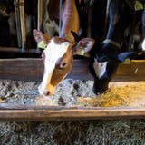 Auch Kühe und Rinder werden in der Schweiz mit Kraftfutter gefüttert. (Gaetan Bally / KEYSTONE)
