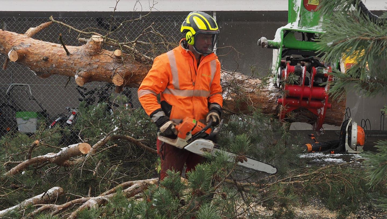 Die beiden Föhren-Bäume am Gemeindehaus Stein wurden jetzt entfernt. (Hans Christof Wagner  / Aargauer Zeitung)