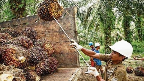 Der Palmölsturm im Wasserglas: Wie eine Schweizer NGO in Indonesien Ölpalmen anpflanzte– mit ernüchterndem Fazit