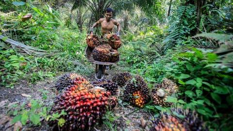 Ein indonesischer Arbeiter in einer Palmöl-Plantage. (Bild: Keystone)