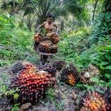Ein Arbeiter erntet in der indonesischen ProvinzNordsumatra die Früchte der Ölpalme, aus denen das umstrittene Palmöl gewonnen wird. (Dedi Sinuhaji / EPA)