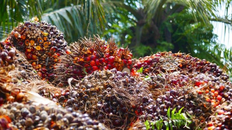 Palmöl hat sich zu einem stark nachgefragten Rohstoff entwickelt. Im Bild Palmölnüsse. (Bild: Urs Wälterlin)