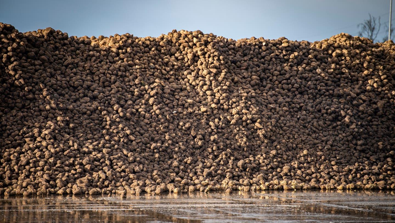 Aus Schweizer Zuckerrüben soll neben Zucker bald auch Ethanol produziert werden. (Bild: Reto Martin)
