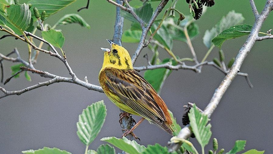 Die Goldammer-Männchen singen im Frühjahr und Sommer oft auf Buschspitzen. (Archivbild)