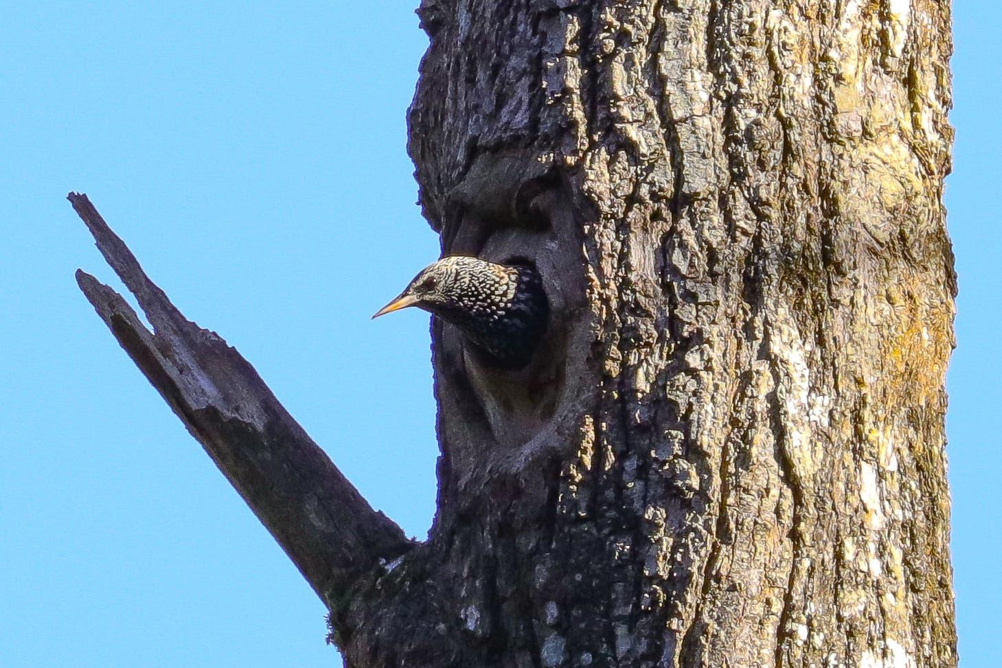 In Obersteckholz guckt ein Star aus seinem Nest.