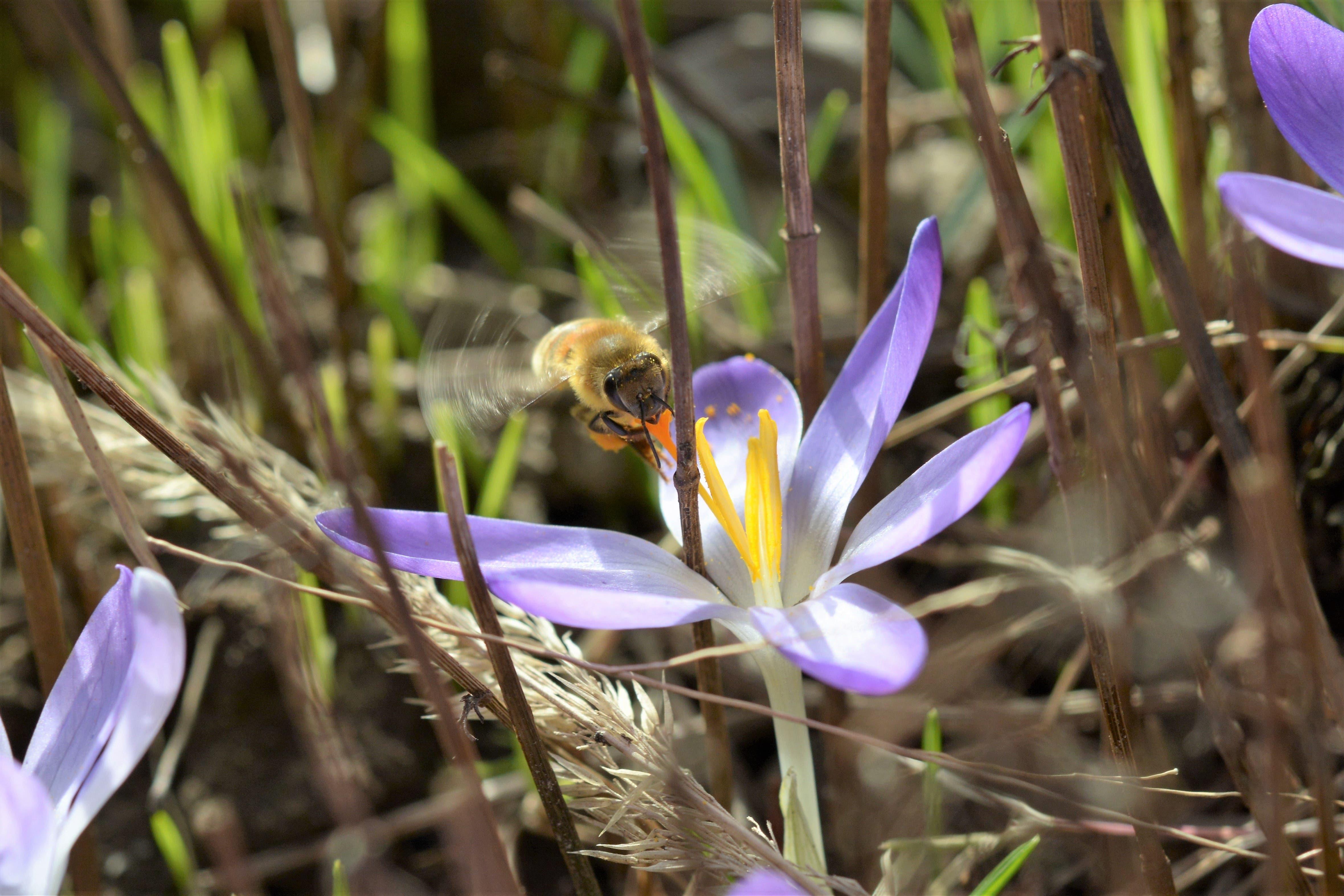 Ein Insekt auf der Suche nach Blütenpollen in Niederlenz.