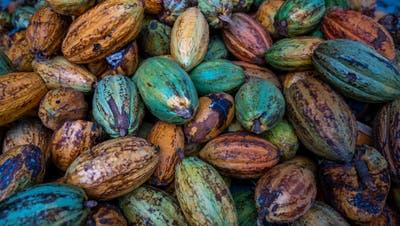 Die Kakaopflanze ist für die Herstellung von Schokolade unabdingbar. In den letzten Jahren ist der Anteil von Kakao zu Gunsten von Zucker und Milch jedoch gesunken. (Bild: Getty Images)