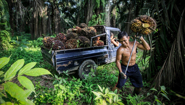 Ein Arbeiter erntet auf der indonesischen Insel Sumatra Palmfrüchte. (Bild: Dedi Sinuhaji/EPA)