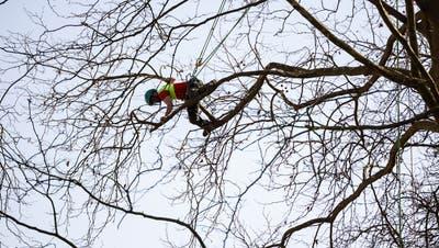 Gesichert mit einem Seil werden die Arbeiten in der Baumkrone gemacht. (Hanspeter Bärtschi)