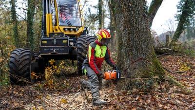 Holzerarbeiten können selbst für erfahrene Berufsleute unberechenbar sein. (Bild: Hanspeter Bärtschi)