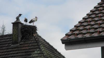 Das Storchendorf in Altreu, bei Selzach. Letztes Jahr wurden bis zu 200 Störche gezählt. (Jocelyn Daloz)