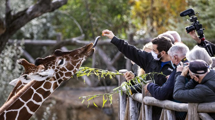 Das Tier-Spektakel geht wieder los: Besucher füttern die Giraffenin der Lewa Savanne im Zoo Zuerich. ((Aufgenommen am 21. Oktober 2020) Alexandra Wey / KEYSTONE)