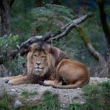 Die Löwen sind ein grosses Highlight im Walter-Zoo. (Archivbild:Benjamin Manser)