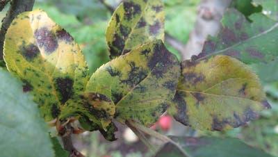 So sehen von Marssoninabefallene Bäume aus: fast keine Blätter, kleine Früchte. (Bild: Agroscope)