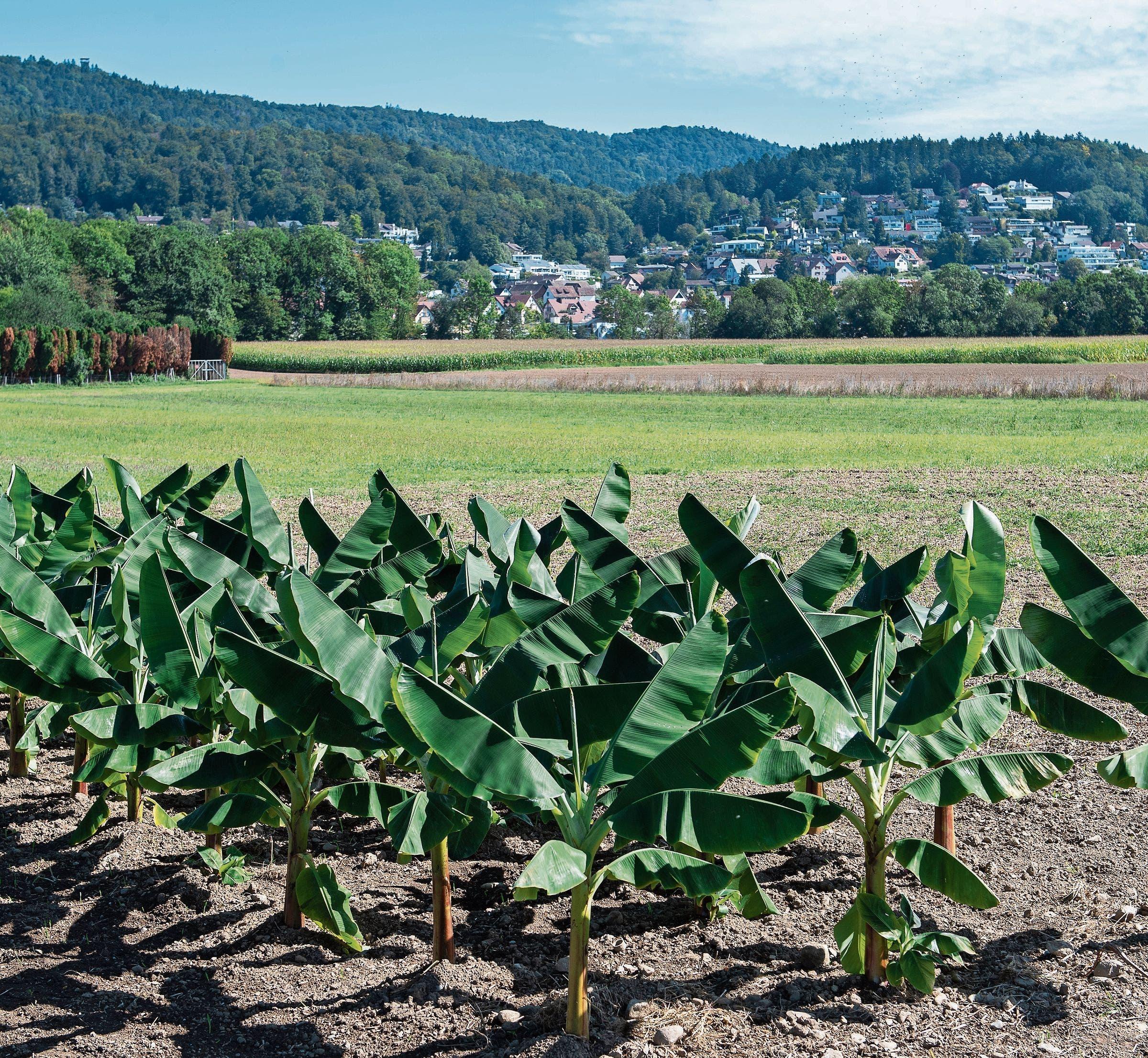 Im Rahmen der Regionale-2025-Landschaftsausstellung «Wachgeküsst» wurde 2019 in Spreitenbach eine kleine Bananenplantage gepflanzt.