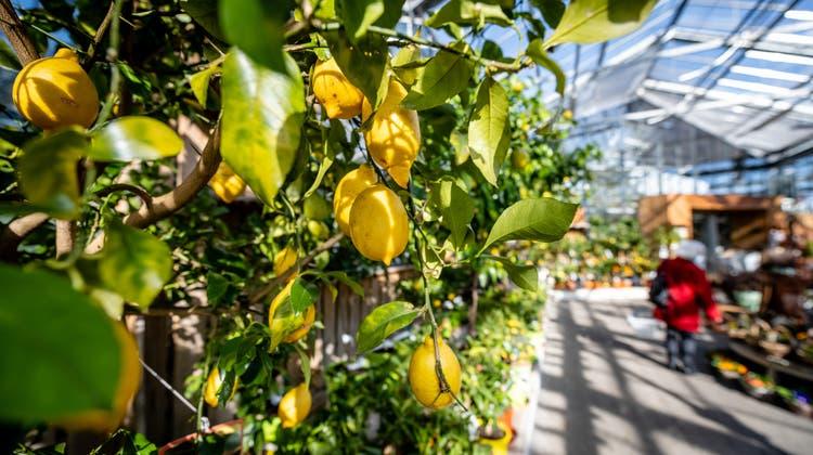 Das schöne Wetter hat in den vergangenen Tagen zu einem ziemlichen Andrang im Zuchwiler Gartencenter geführt. (Michel Lüthi)