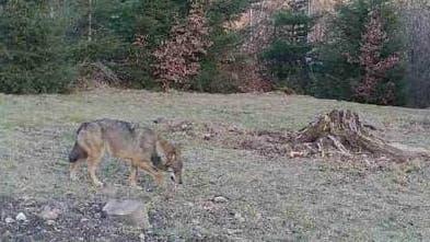 Eine Wildtierkamerakonnte in Bäretswil einen Wolf fotografieren. (Bild: Baudirektion Zürich)