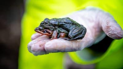 «Alles kleine Schönheiten»: Dank Freiwilligen gelangen hier die Amphibien gefahrlos über die Strasse