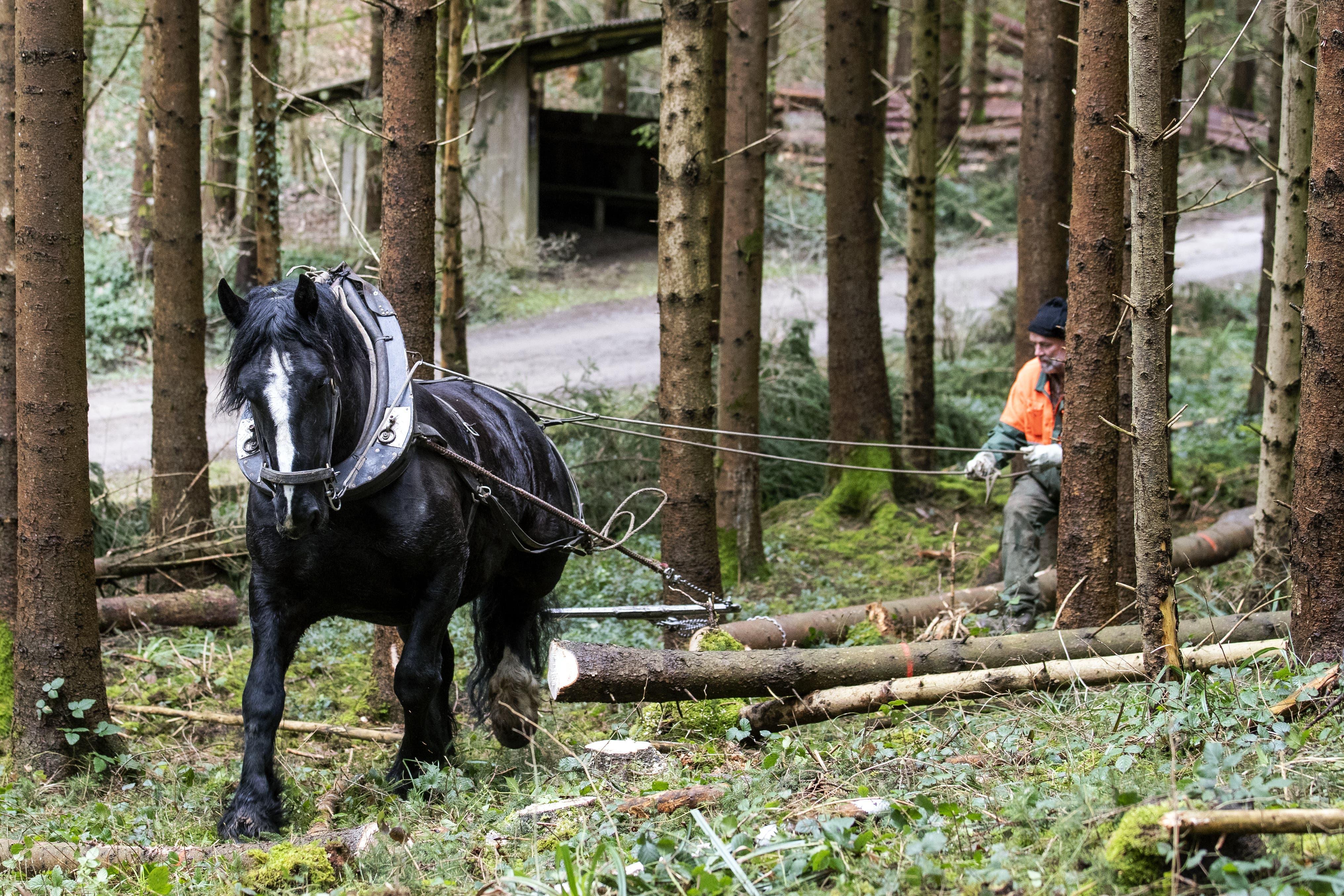 Wegen der Schneefälle im Januar liegen in den Winterthurer Wäldern viele umgefallene Fichten. Mit Pferdekraft werden diese aus dem Wald geräumt.