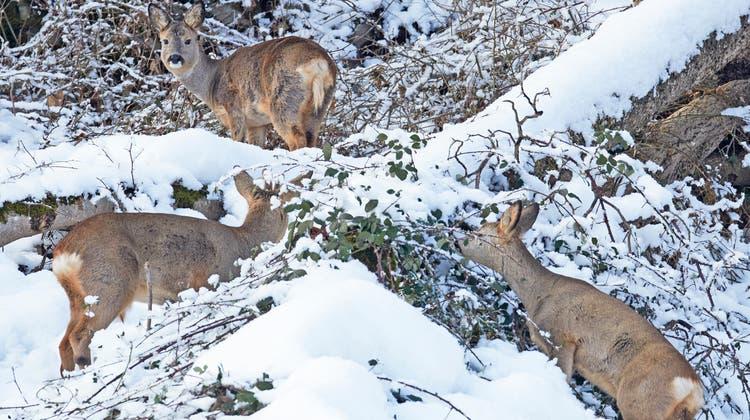 Einst fast ausgerottet, heute wieder omnipräsent im Baselbiet‒ das Reh, des Jägers Hauptbeute. (Bild: Markus P. Stähli)
