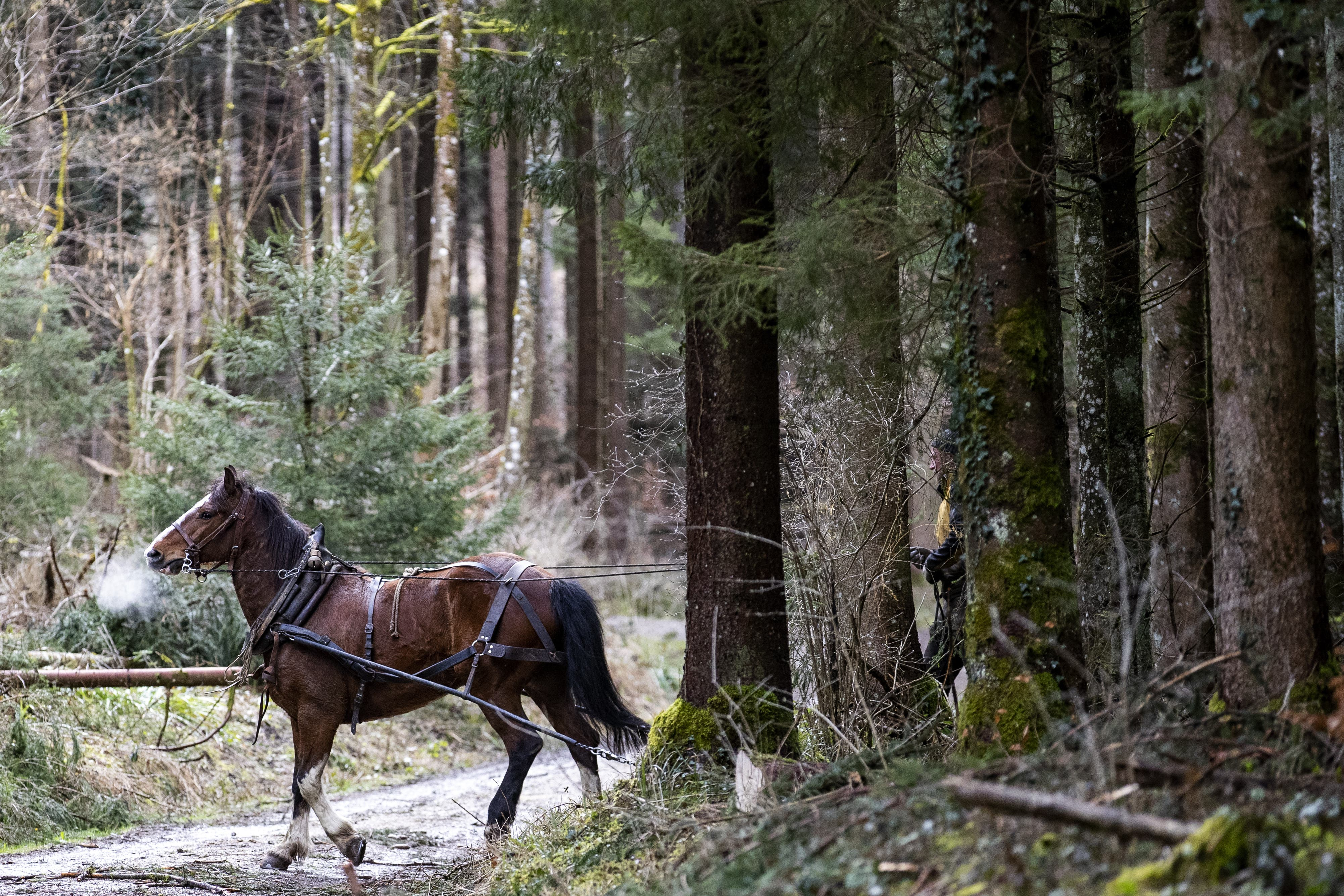 Seit Mitte Februar arbeitet ein Pferdeführer mit seinem für das Holzrücken ausgebildeten Tier im Winterthurer Wald. Seit Montag sind zusätzlich vier Rückepferde aus dem Unterengadin mit ihren Führern im Einsatz.